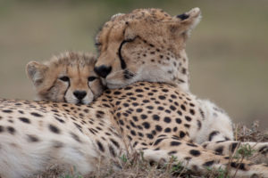 stock-cheetah