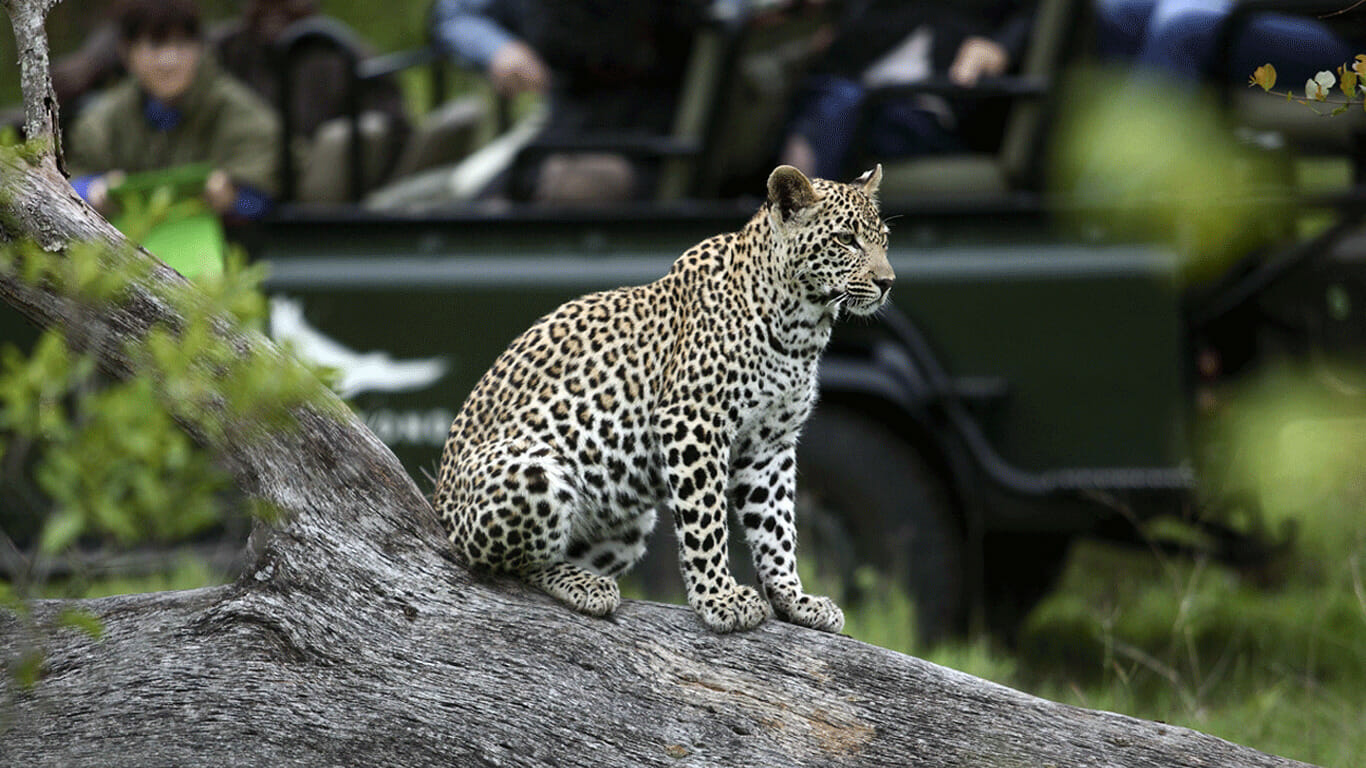 'View of Leopard and safari vehicle'