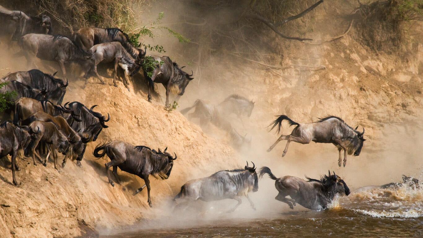 'Great Wildebeest migration'