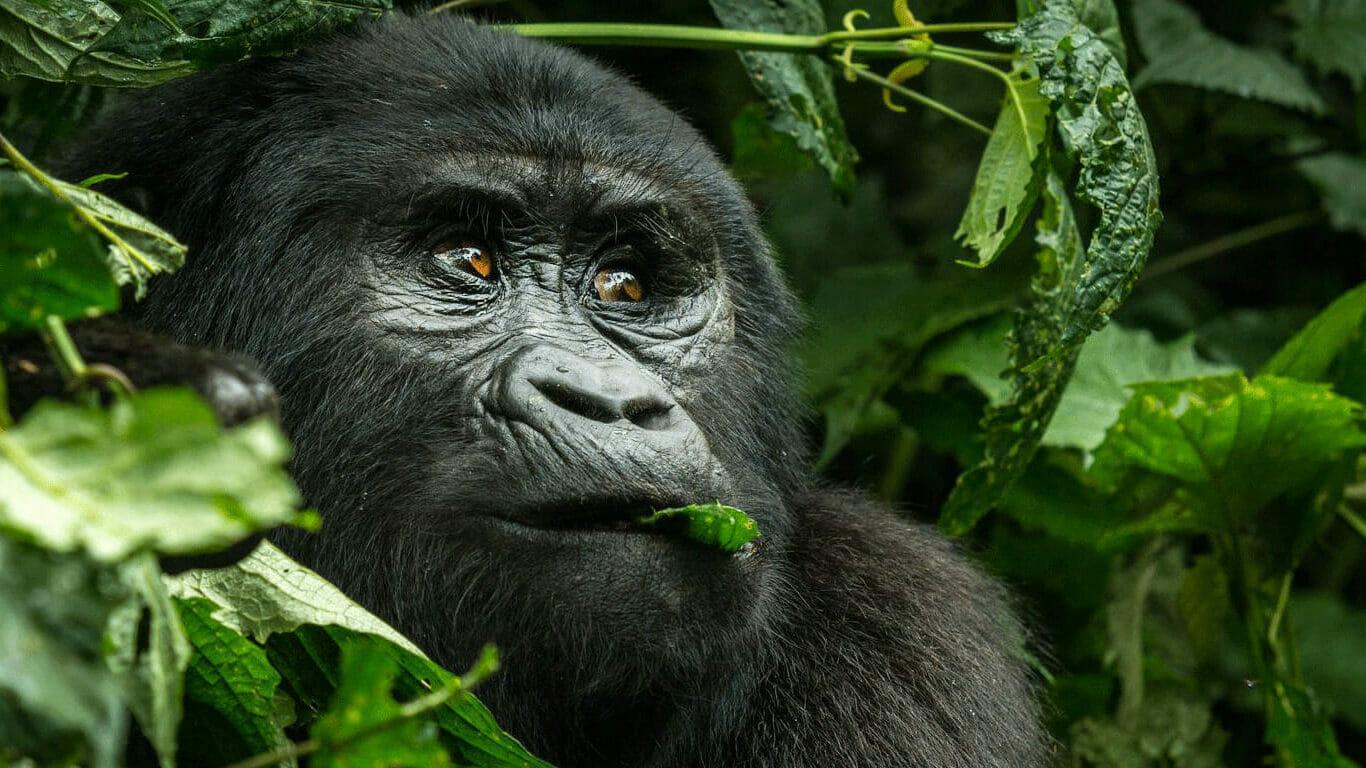 'Gorilla trekking safari'